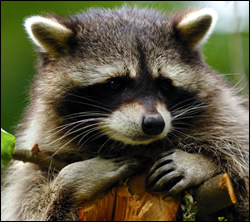 raccoon removal Irving